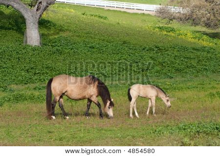 Buckskin Mare With Her Foal
