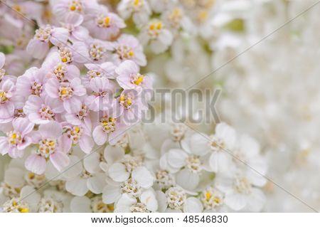Yarrow (Achillea) Flowers Close-up