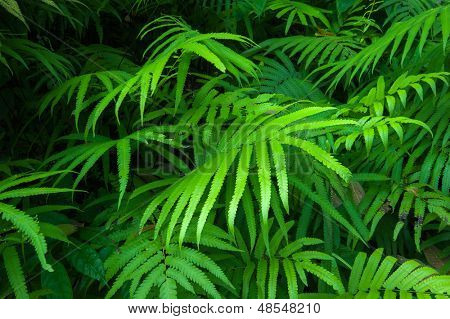 Ferns leaves green foliage tropical background. Rain forest jungle plants natural flora