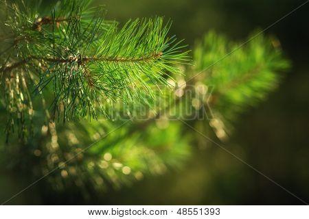 Branch Of Pine Tree