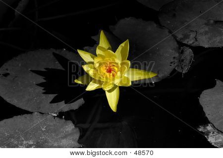 Lotus Desat - 2