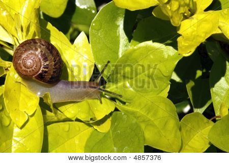 Common Snail (Helix Aspersa) among Golden leaves in a garden poster