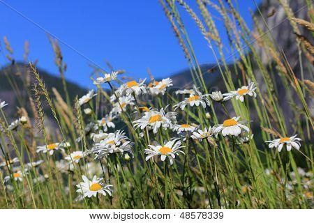 Mountain valley daisies