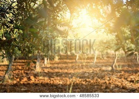 Olive trees garden, mediterranean olive field ready for harvest. poster