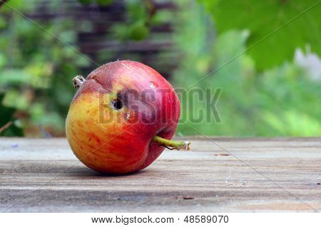 Rotten And  Worm-eaten Wormy Apple
