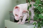 curious cornish rex cat. poster