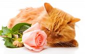 Red cat smelling a pink rose isolated poster