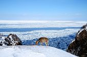 Deer and sea covered with floating ice in Shiretoko (inscribed on the UNESCO World Heritage list) in winter, Hokkaido, Japan poster