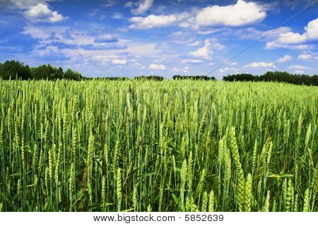 Cereal field with blue sky and grooves at background