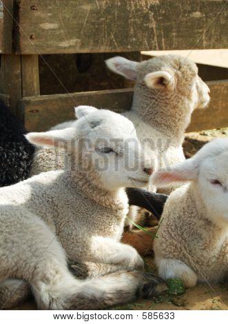 White Sheeps