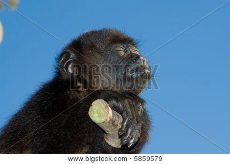 Baby Black Howler Monkey