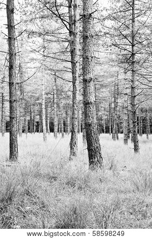 Pine Forest With Grass