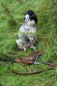 Russian hunting Spaniel gun and a duck. poster