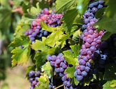 Photo of grapes was taken in Tuscany,Chianti,Italy poster