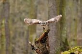Tawny Owl flying away from tree stump poster