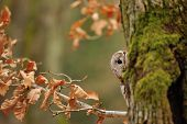 Tawny Owl hiddne behind tree trunk with moss poster