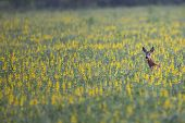 Roe deer hidden in the flowers, in the wild. poster