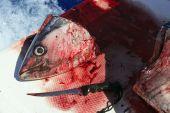 Bloody Mediterranean tuna fish preparation after catch poster