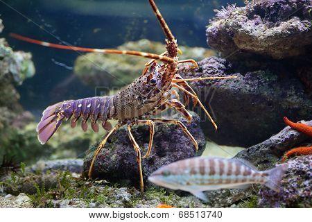 Lobster And Fish In Aquarium