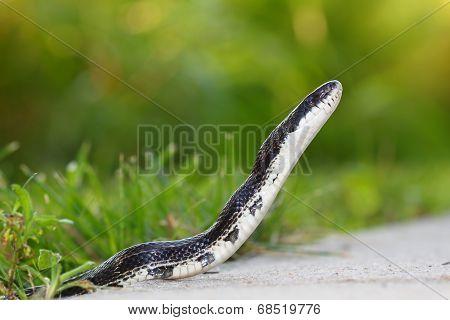 Rat Snake on a walking path in Illinois.