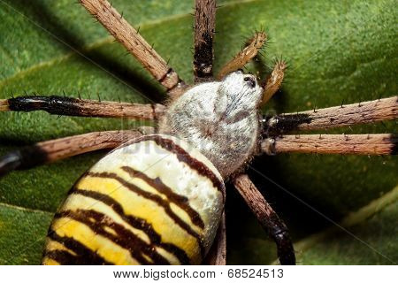Large wasp spider on a green leaf