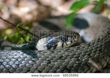 Grass Snake Or Natrix Natrix