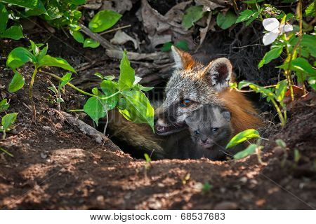 Grey Fox Vixen (Urocyon cinereoargenteus) And Kit Peek Out Of Den