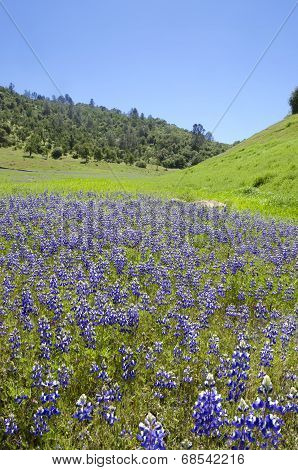 Lupines And Oak Trees