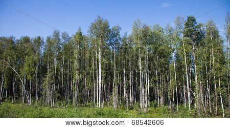 Stand of Birch Trees
