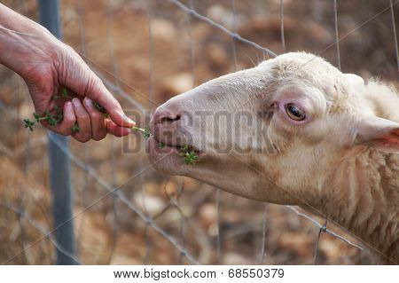 Sheep being fed