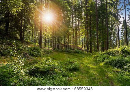 Forest Glade In  Shade Of The Trees In Sunlight