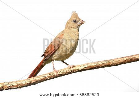 Juvenile Northern Cardinal (Cardinalis) on a stump - Isolated on a white background poster
