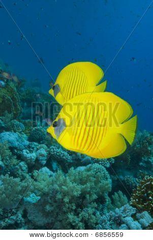 Vibrant Yellow Tropical Fish