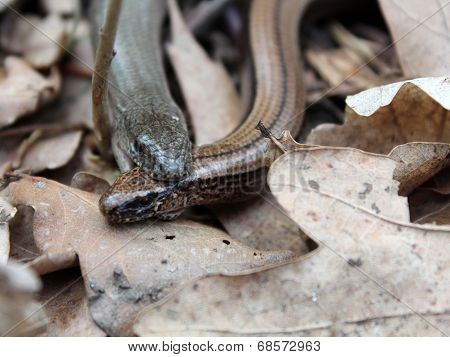 Two slow snakes (Anguis fragilis) mating