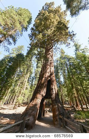 Sequoia Gate In Mariposa Grove, Yosemite National Park