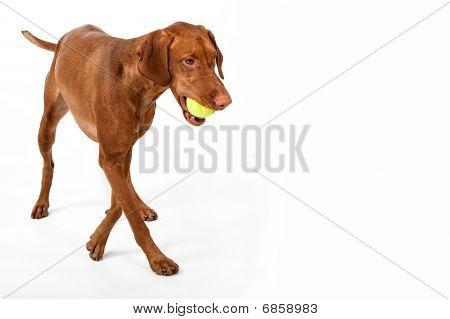 Vizsla With Ball