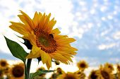 Bee on a blooming sunflower - field of sunflowers poster