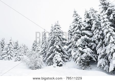 Pineforest with snow