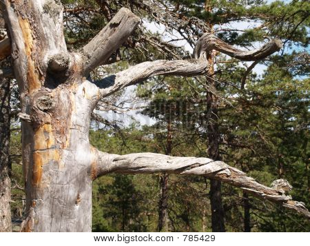 Details of dead pine tree