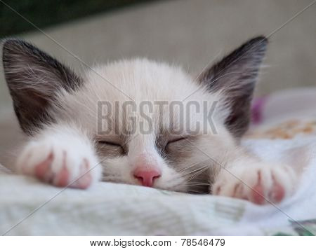 little kitten breed snowshoe sleeping on pad