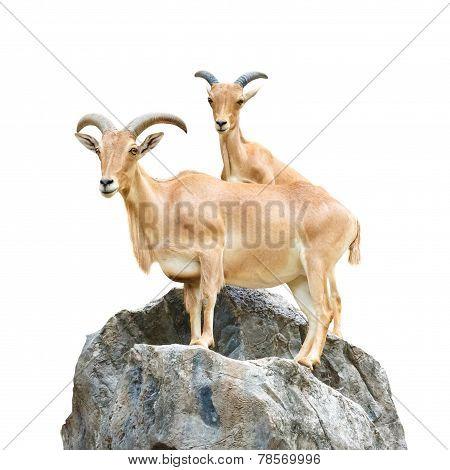 Serow (mountain Goat , Capricornis Sumatraensis) Stand On Rock At Chiangrai ,thailand  (isolated)