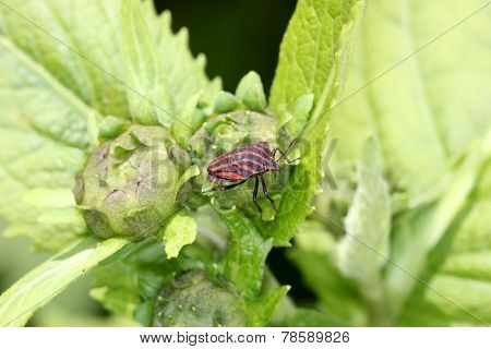 Italian striped-bug
