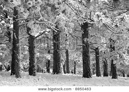 Lodge Pole Pines On Blue Bell Trail