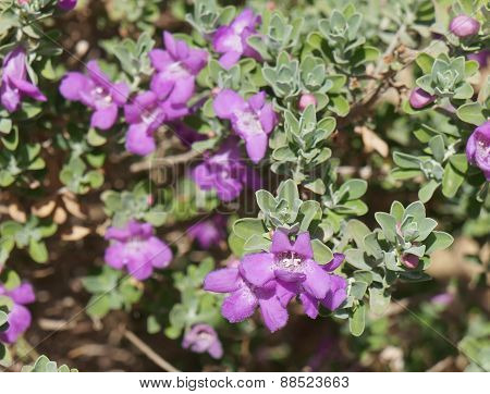 Eremophila nivea blossom