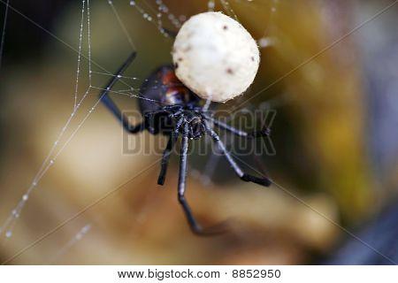 Australian Redback Spider