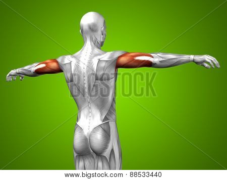 Concept or conceptual 3D triceps human anatomy or anatomical and muscle on green gradient background
