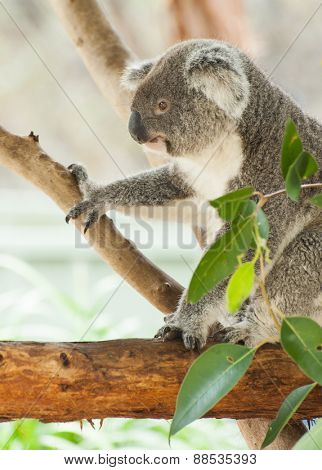 Beautiful koala bear (Phascolarctos cinereus) sitting on the gum tree branch, Victoria, Australia