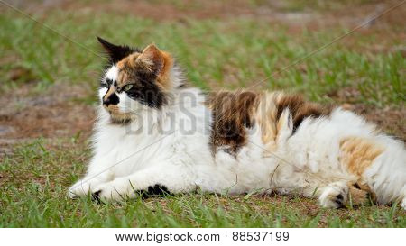 Long-haired female calico cat laying in grassy yard in the late afternoon in overcast weather. Female domesticated pet cat. Fuzzy black white and orange coloring Cat's eyes open. poster