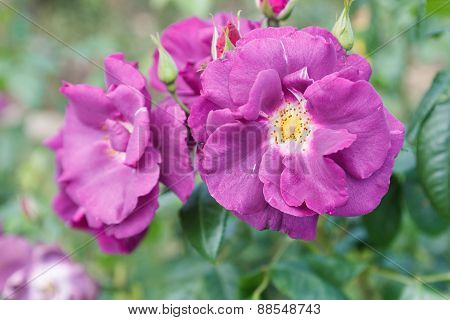 Blooming Purple Rose In The Garden