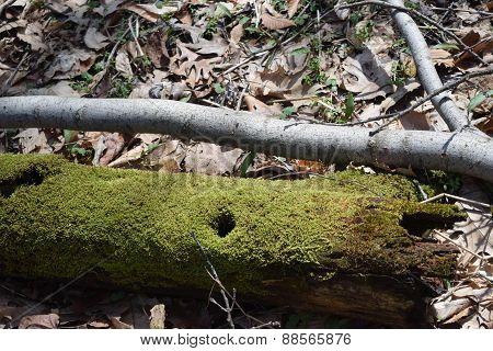 moss covererd wood pecker hole